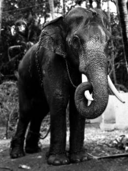 Tusker Elephant Mammal Free Photo