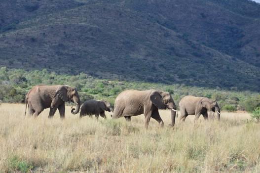 Elephant Mammal Grassland #224905