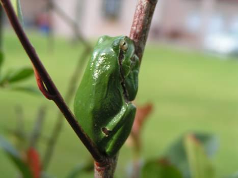 Tree frog Frog Amphibian #225849