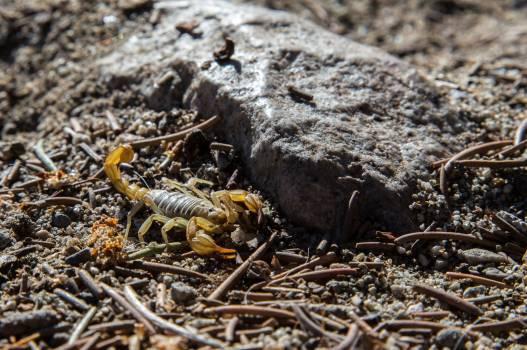Scorpion Arachnid Arthropod #225942