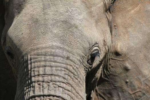 Elephant Mammal Wrinkle #225983