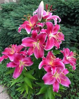 Pink Flower Flowers Free Photo