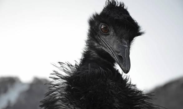 Bird Ostrich Magpie #226526