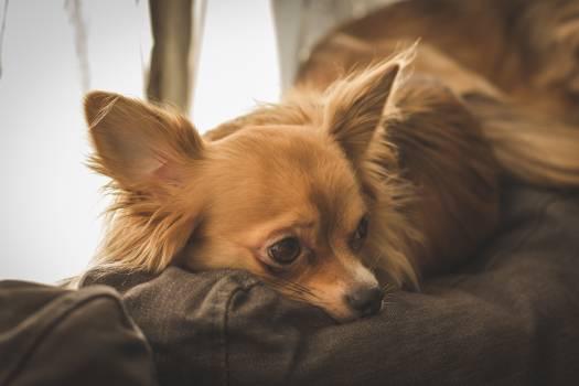 Chihuahua Toy dog Dog #226533