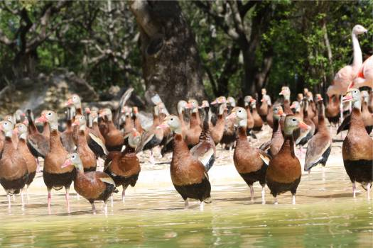 ducks birds animals  Free Photo