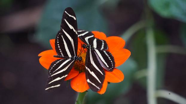 Butterfly Monarch Danaid #226955