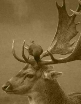 deer antlers crow  Free Photo