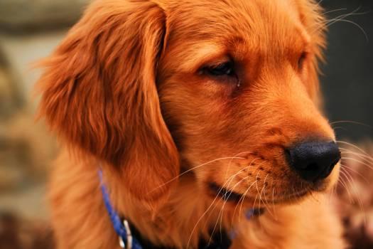 Golden retriever Retriever Sporting dog Free Photo