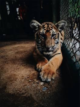 tiger animal zoo  #22857