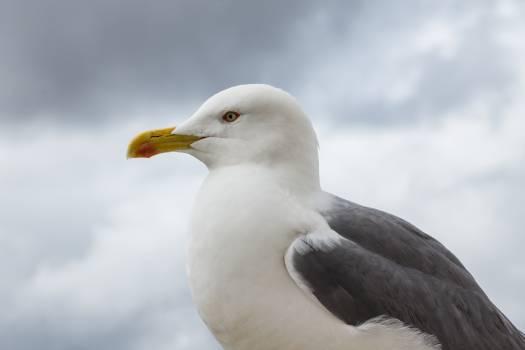seagull bird beak  #22873