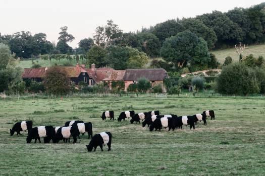 Farm Cattle Cow Free Photo