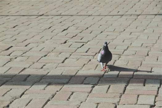 pigeon bird cobblestone  Free Photo