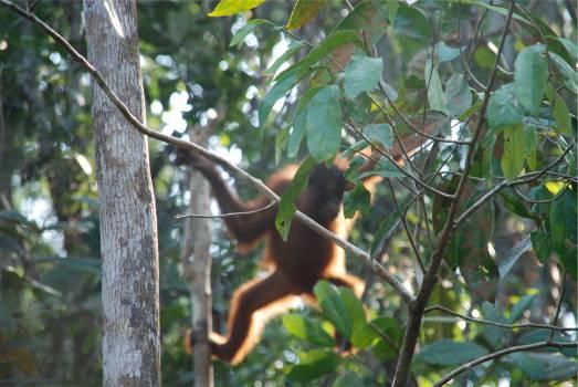 orangutan animal jungle  Free Photo
