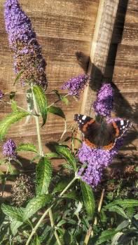 Butterfly Butterfly-bush Shrub Free Photo