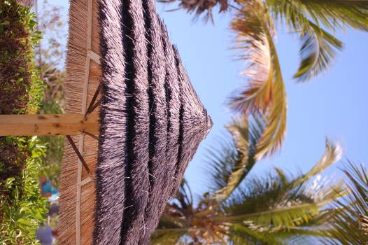 Palm Coconut Tree Free Photo