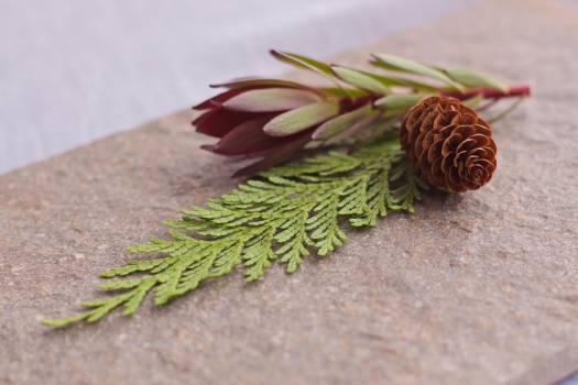 pine cones leaf  Free Photo