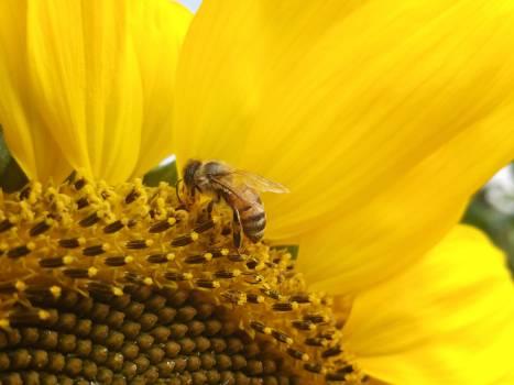Sunflower Flower Yellow #230059