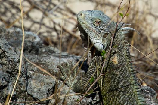 iguana lizard animal  #23005