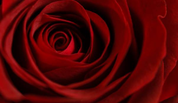 Red Rose Love Free Photo