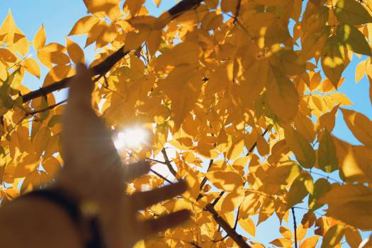 Maple Autumn Leaves #230589