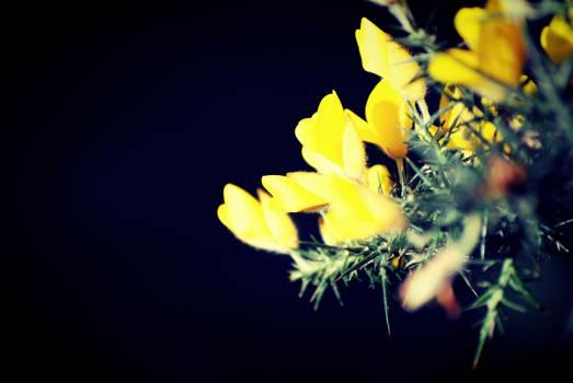 yellow ginster flower  #23092