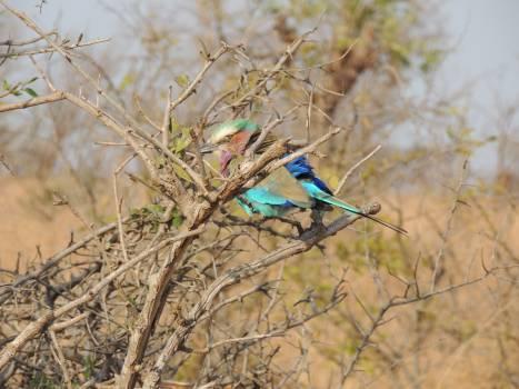 Bee eater Bird Indigo bunting Free Photo