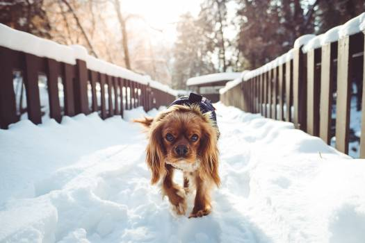 Spaniel Sporting dog Hunting dog Free Photo
