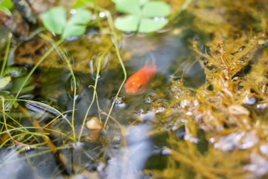 Goldfish Cyprinid Ladybug Free Photo