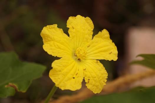 Maple Yellow Leaf #231529