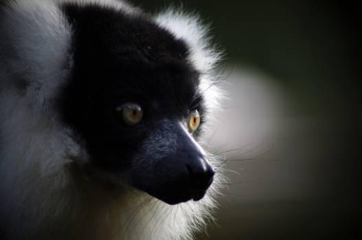 Lemur Primate Mammal #231590