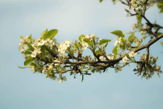branch blossoms  #23188