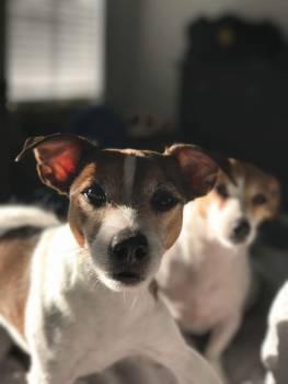 Dog Greyhound Racer #232337