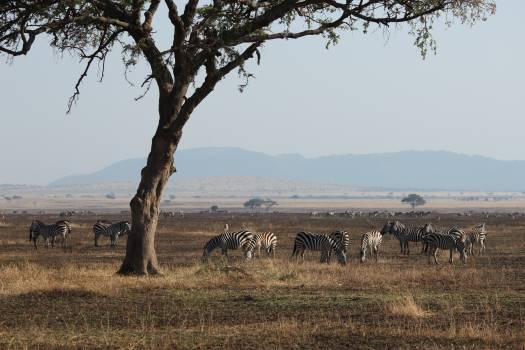 Zebra Equine Ranch Free Photo