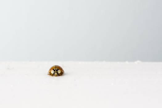 ladybug insect white  #23243