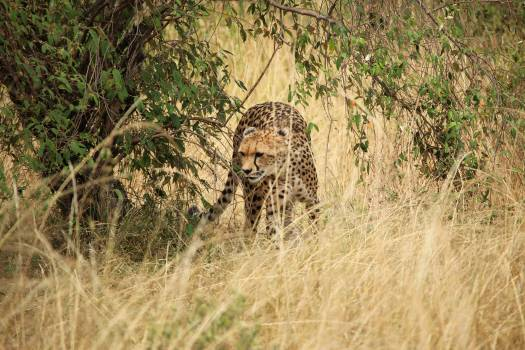 Cheetah Big cat Feline Free Photo