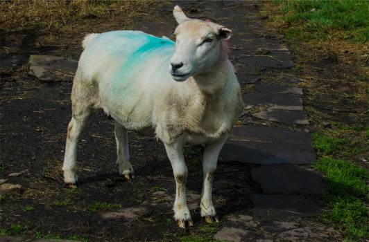 sheep animal  #23259