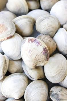 Clam Bivalve Mollusk #232665