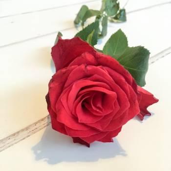 Petal Rose Flower Free Photo