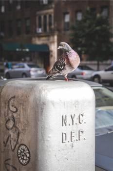 pigeon bird NYC  #23342