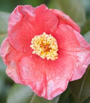 Ornamental Rose Shrub Free Photo