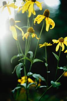 sunflowers plants  Free Photo