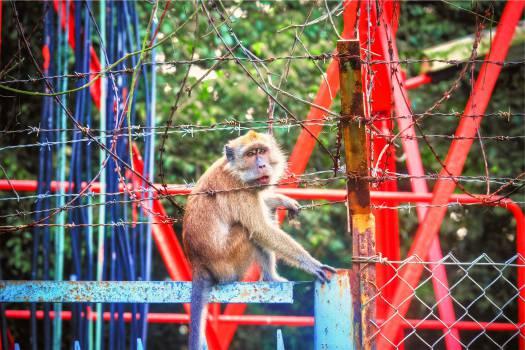 monkey animal chainlink  #23392
