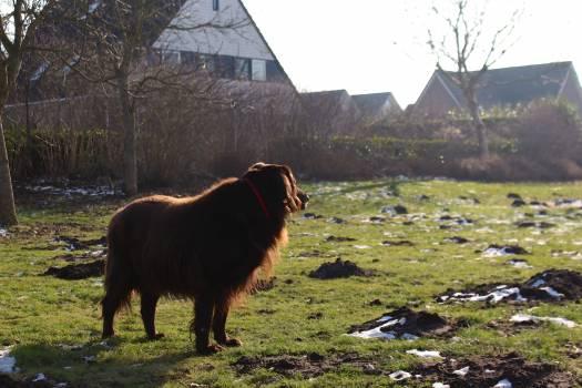 Cow Cattle Bovine Free Photo
