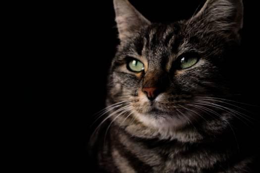 Cat Feline Kitty #234459