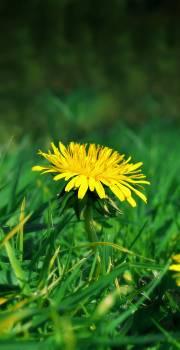 Dandelion Herb Plant Free Photo