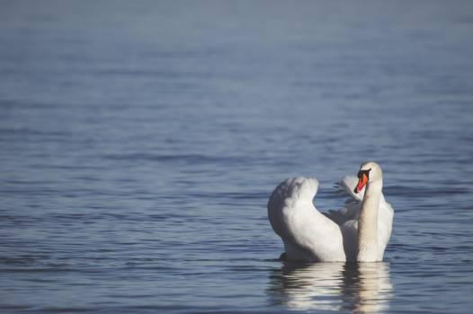 Bird Goose Aquatic bird Free Photo