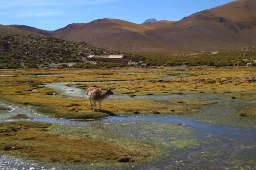 Geyser el Tatio Chile animals  #23489