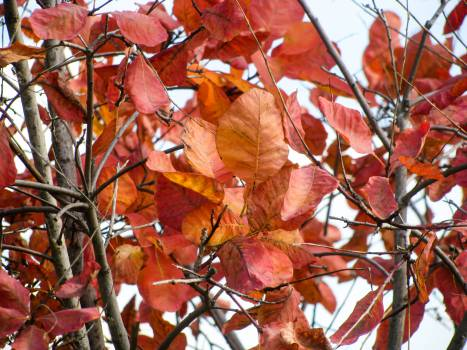 red leaves autumn  Free Photo