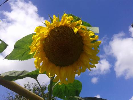 Sunflower Flower Yellow #235325