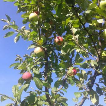 Peach Fruit Tree Free Photo